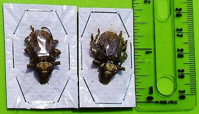 Lot of 2 Cute Long Horn Beetle Onychocerus crassus FAST SHIP FROM USA