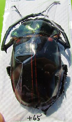 Chinese Long-arm Beetle Cheirotonus jansoni Male 60mm FAST FROM USA