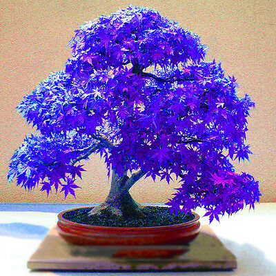 10pcs Amazing Blue Maple Seeds Bonsai Tree Plants Potted Home Garden Decor
