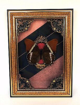 Real butterfly taxidermy museum quality frame interior home decor oddity curio