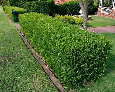 30 seeds Buxus sempervirens seeds (Common boxwood)