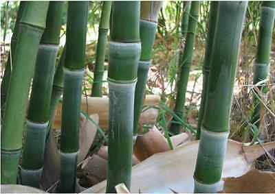 100pcs Fresh and Rare Bamboo Seeds With Instructions - Phyllostachys Heteroclada