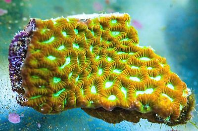 WYSIWYG CR Ultra Favites (approx 2 inches) live coral reef tank