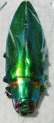 Jewel Beetle Wood Boring Chrysochroa rajah thailandica FAST SHIPPING FROM USA