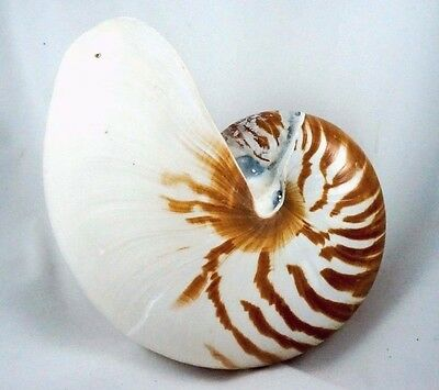 Nautilus Sea Shell Decor Beach Chambered Seashell Pearl Natural Pompilius Tiger