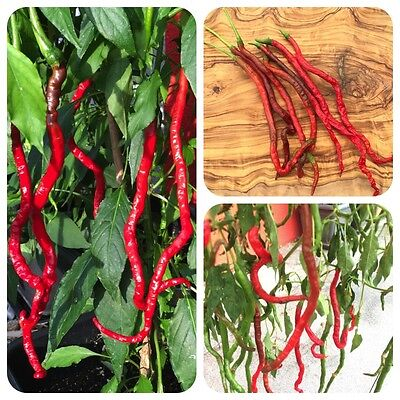 Thunder Mountain Longhorn rote Chili aus China mittelscharfe superlange Chilli