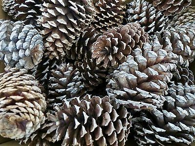 """85 Pine Cones from South Carolina Spruce & White Pine 3"""" to 5"""" Crafts Clean"""