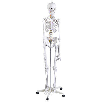 Anatomical Skeleton Life Size Human Model Poster Medical&Stand Aid Anatomy