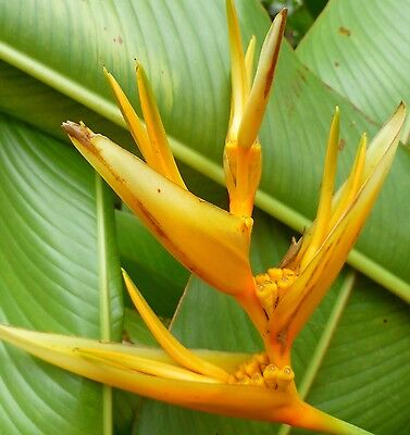 HELICONIA GOLDEN TORCH  TROPICAL PLANTS x 1  ADULT ROOTED PLANT