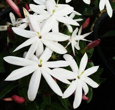 STARDUST JASMINE Jasminum multipartitum fragrant flower climber plant 140mm pot