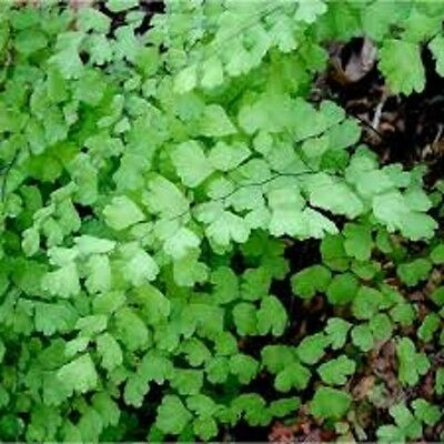 2 x Maiden Hair FERN Adiantum Fragrans maidenhair house plants in 40mm pots