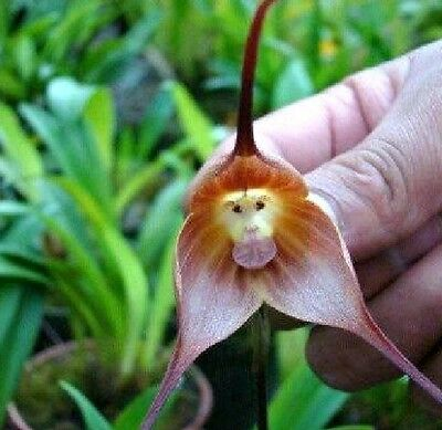 Home Garden Rare Monkey Face Orchid 01 Beautiful Plant Flower quality seeds