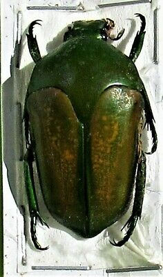 Jewel Beetle Wood Boring Megaphonia adolphinae FAST SHIPPING FROM USA