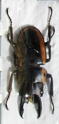 Stag Beetle Prosopocoilus bison cinctus Male 30-35mm FAST FROM USA