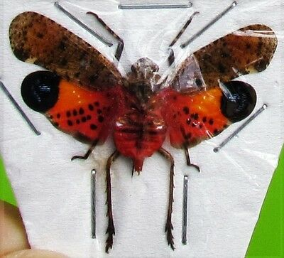 Lot of 2 Asian Lanternfly Cicada Penthicodes pulchella Spread FAST SHIP FROM USA