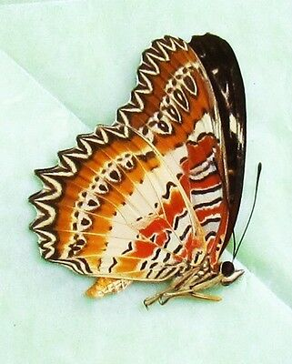 Lot of 2 Red Lacewing Butterfly Cethosia biblis Papered/Folded FAST SHIP FROM US