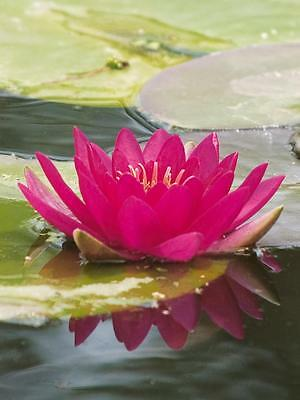 Escarboucle  water lily Pond plants water lilies koi aquatic plants