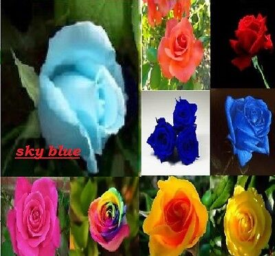 Home Garden sky blue rose seed   Beautiful Plant Flower quality seeds
