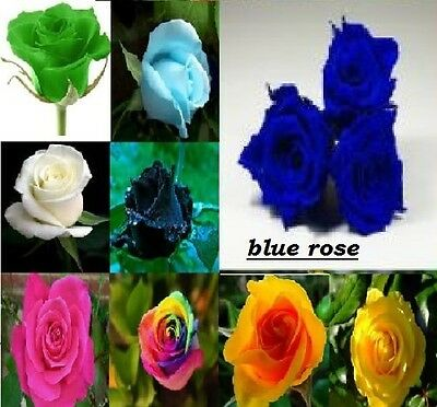 Home Garden blue rose Beautiful Plant Flower quality seeds