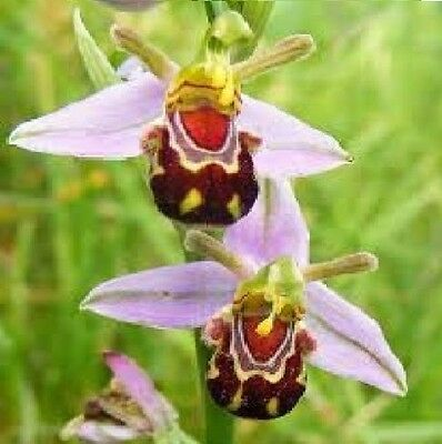 rare Orchid  bumble bee Flower Plant quality seeds