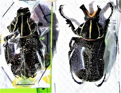Rare S. A. Flower Beetle Inca clathrata sommeri Pair FAST FROM USA