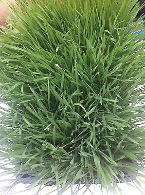 Organic Pet Grass for Cats and Pets Plant Can be Fed to Your cat or Other Pet