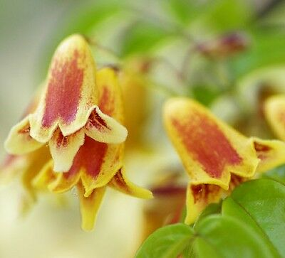 GOLDEN CHIMES Pandorea pandorana native climbing flowers plant in 140mm pot