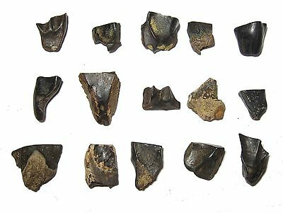 Cretaceous Triceratops Hell Creek Formation dinosaur tooth neat small fossils