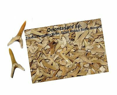 Eocene shark tooth fossils two complete teeth 50 million years Morocco great