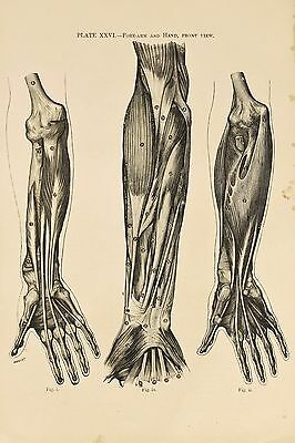 Arms & Hands Muscles. - Antique Skeleton Anatomy Anatomical Black & White Print