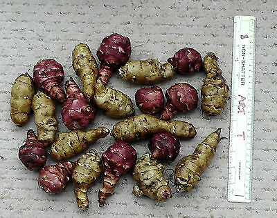 20 Large Jerusalem Artichokes 1.5 Kg, Mixture of Red & White