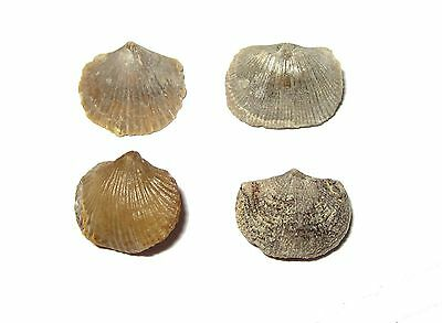 Ordovician Brachiopod fossil collection Bromide Formation Oklahoma Glyptorthis