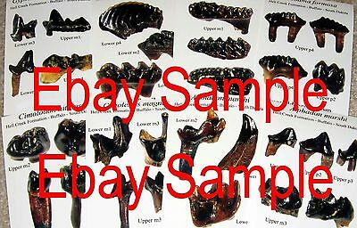 Cretaceous Hell Creek Mammal tooth fossil photo identification cards