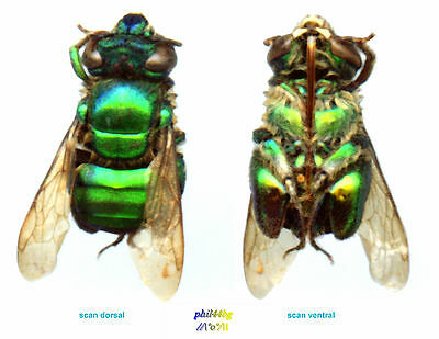 Abeille / Orchid Bee - EUGLOSSA SECURIGERA - Entomology . insect 1150A