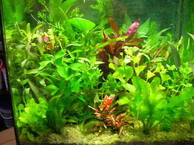 lot de 30  brins  de plantes de culture pour aquarium made in france ( alsace )