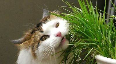 ORGANIC CAT GRASS - RYE - Great Treat for Feline Digestive System - 1 LB. SEEDS