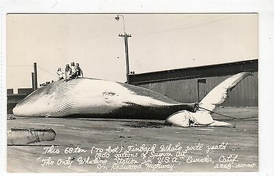 WHALE AT WHALING STATION, EUREKA: California USA postcard (C11877)
