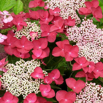 """Hydrangea Macrophylla 'Rotschwanz"""" x1 Young Plant Not for NT"""