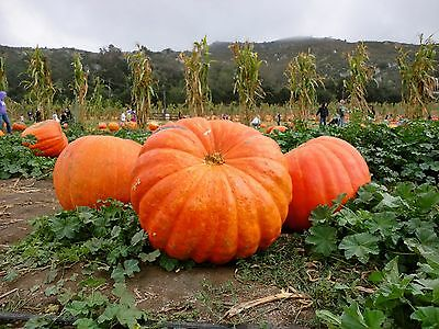 CALABAZA GIGANTE  atlantic giant  15 semillas seeds graines
