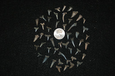 50 Rare Eocene Fossil Shark Teeth --- Alabama U.S.A   FS 33