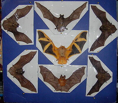 Hanging Bat Taxidermy SOME Rare 7  Species FLYING Position GREAT DISPLAY #1 LQQK