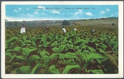 Typical Tobacco Field in Sunny Dixie Vintage Postcard Linen