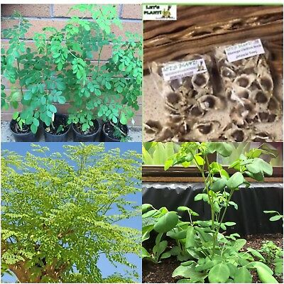 MORINGA OLEIFERA ORGANIC 15 FRESH SEEDS Miracle Tree High Germination Rate