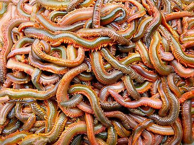 RAGWORM!!  WILD! Fishing bait 2.2LB of weight comes in polystyrene box
