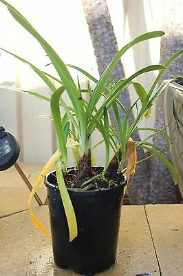 Agapanthus large leaved 28cm to grow taller unsure of flower colour