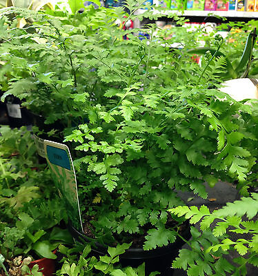 MAYFIELD FERN tropical indoor foliage plant in 120mm pot
