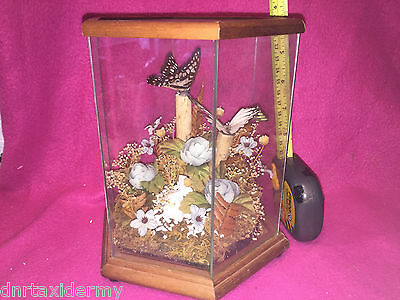 TAXIDERMY BUTTERFLIES IN GLASS CASE Arts Taxidermy CRAFT DECORATION OLD VINTAGE