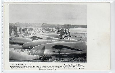 THE CAPTURE OF WHALES AT THURSO, JUNE 1899: Caithness postcard (C21873)