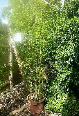 Bamboo Plants in Pots