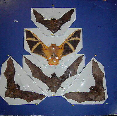 Bat Taxidermy Bats 5 Species Some Hard To Find FLYING Position GREAT DISPLAY